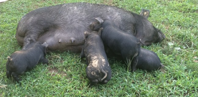 Pigs in the yard - w